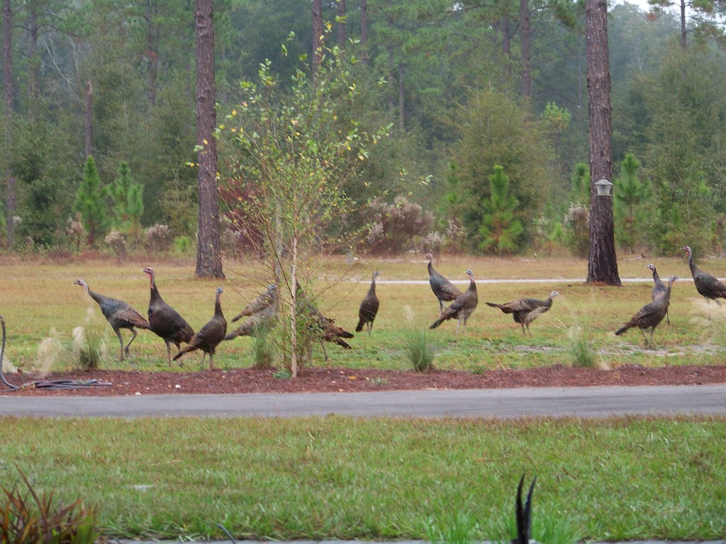 The Hawks' Ridge gaggle of wild turkeys, DEC2012