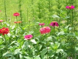 Zinnias with blackberries