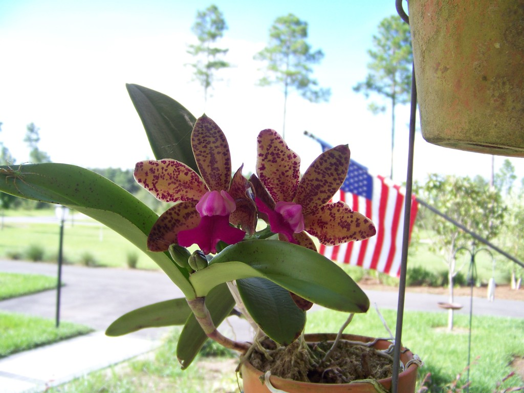 The inaugural orchid blooms at Biddan Ridge