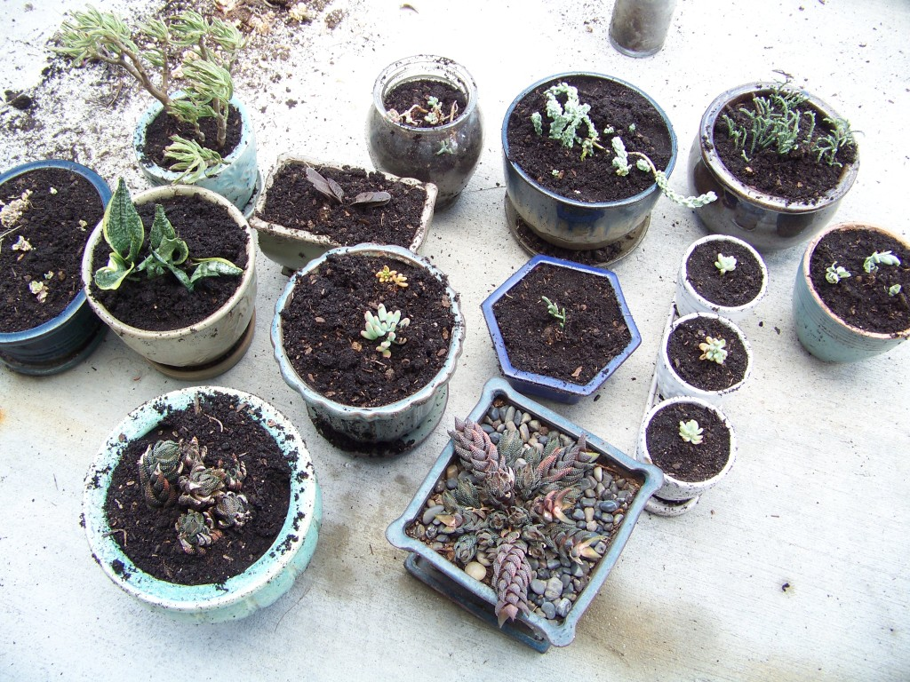 Succulents repotted