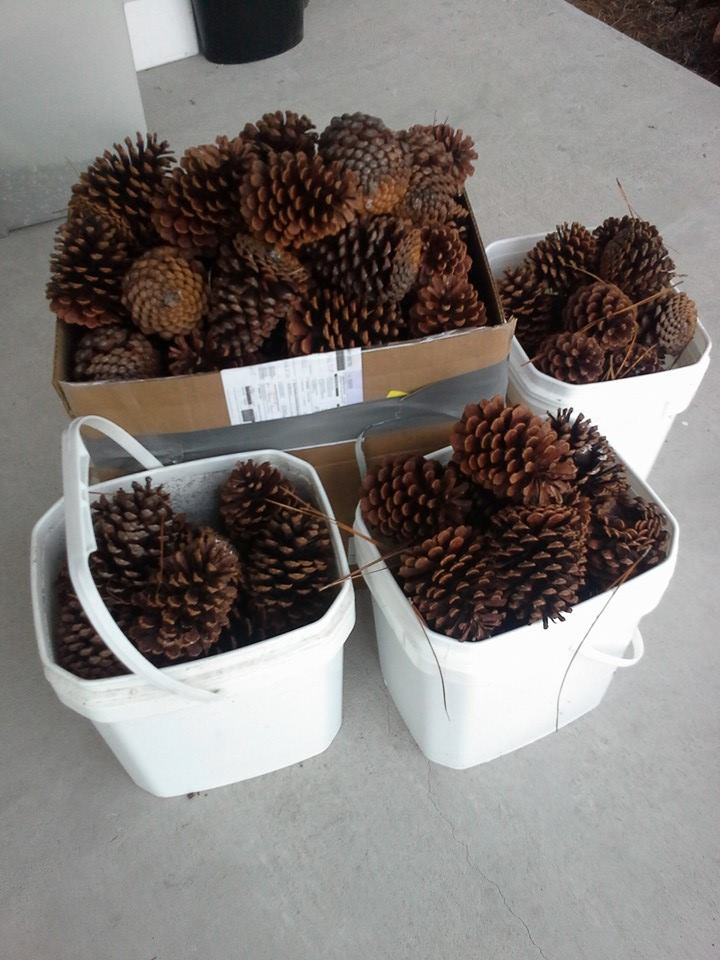 Collected cones